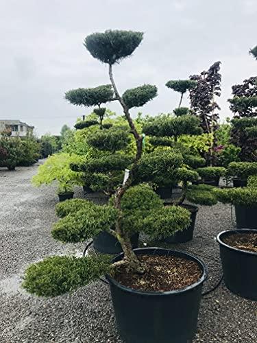 Bonsai, Gartenbonsai, Formpflanze, Juniperus Hetzii | 25 Jahre Alt (Grün)