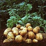 SummerRio 50 unids Semillas de Patata Plantas Perennes Siembra Hortalizas Hogar Jardín Bonsai Semillas
