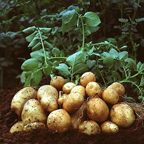 ADOLENB Garten Samen - 50 Pcs Kartoffelsamen Kartoffeln gemischt Saatgut für Abendessen Kinder lieben Gemüse