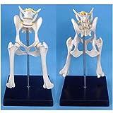 ALBB Dog Hip Joint Model - Medical Anatomical Canine Skeleton Bone Model - Dog Pelvis Model Canine Animal Skeleton Anatomical Model - for Veterinary Study Display Teaching Medical Model