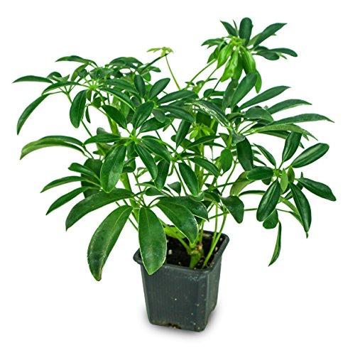 Schefflera arboricola 'Mini Green' - Dwarf Umbrella Tree (3' Pot)