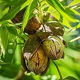 ペカンナッツ2年生挿し木苗 5号ポット【果樹 挿し木苗 1本売り】クルミ科の落葉高木で 甘みが強く 渋みが少ないのが特徴で 古くからアメリカで食べられています。 脂肪分がとても多く 別名「バターの木」とも言われています。ナッツ類の中でも良質の脂肪酸を多く含んでいます。【※商品の特性上 背丈 形 大きさ等 植物には個体差がありますが 同規格のものを送らせて頂いております。また 植物ですので多少の枯れ込みやキズ等がある場合もございます。晩秋から初春は落葉時期ですので葉が無いか葉が傷んだ状態での出荷となります。予めご了承下さい】