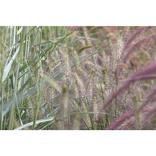 Pennisetum alopecuroides 'Weserbergland' - Garten-Federborstengras 'Weserbergland' - 9cm Topf