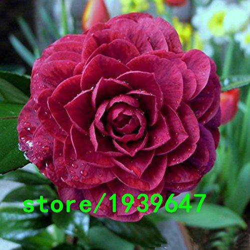 Rare Noir Camellia Rose Graines Plantes en pot de jardin Graines de fleurs en pot Plantes ornementales Graines Camellia commune 120PCS