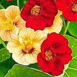Aimado Seeds Garden-50 Capucine grimpante BIO graines,Une plante grimpante très florifère,fleurs graines idéales pour votre jardin