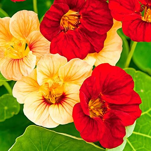 AIMADO Samen-50 Pcs Niedrige Kapuzinerkressesamen Paso Doble-Mischung bienenfreundliche blumensamen Sommerblume perfekt für Töpfe, Kästen und Beete