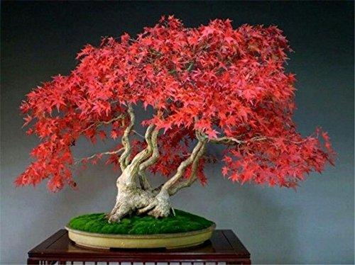 Bloom Green Co. 20 Semillas/paquete Semillas de arce rojo japonés Color del arco iris raro * Muy hermosas Plantas de Japón Semillas nuevas Jardín Reloj Bonsai Ãrbol Regalo: 8