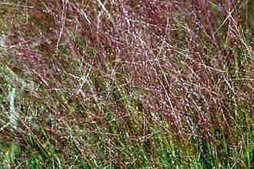 Ziergräser Samen - Eragrostis Teff Seeds