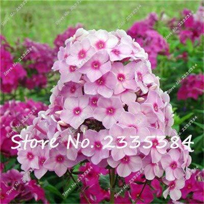 100 Teile/beutel Phlox Pflanzen, Phlox Samen Phlox Blumen Bonsai Blumensamen Bodendecker Samen Topf Diy Hausgarten Pflanze