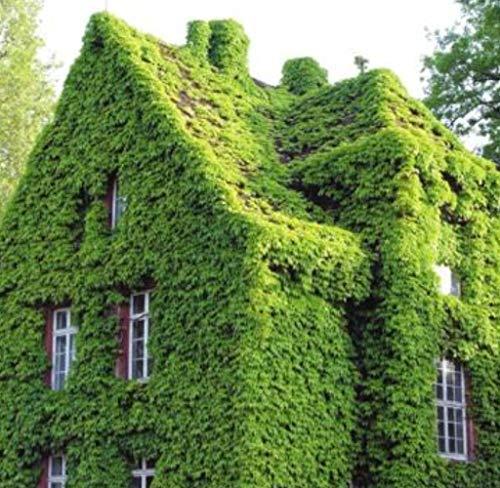 Tomasa Gartensamen- 100 stücke Efeu Samen Immergrün Lila Ivy Kletterpflanzen winterhart mehrjährig Blumensamen,Schnell Wachsende, Efeu Pflanzen für Wänden, Zäunen,Garten