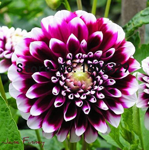 Bloom Green Co. La graine de dahlia rouge, fleurs en pot et 100 graines/many bricolage Home Mobilier de jardin: 2