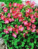 Oxalis Deppei - 25 bulbess