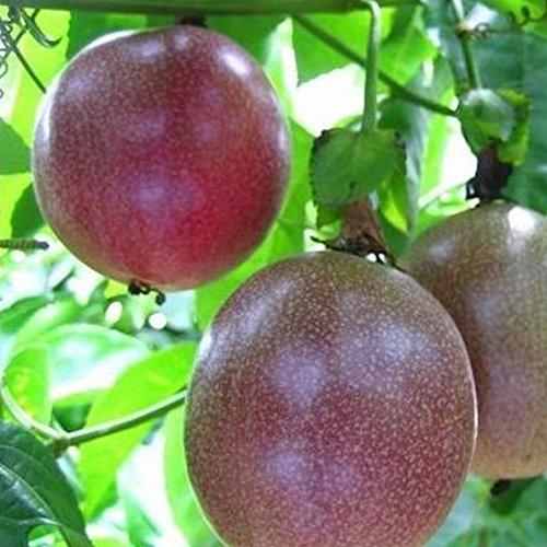 TOPmountain Passionsfrucht Samen 10 Stück lila Granadilla Hausgarten-Pflanzen-Außenanlage