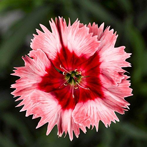 Dianthus Super Parfait Series Flower Seeds - Strawberry - 100 Seeds - Annual Flower Garden Seeds - Dianthus chinensis