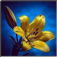 5球根-ユリ球根,ユリの球根,原種ユリ 球根,魅惑的な匂い,鉢植え,世界的に有名で,高い装飾価値,不思議な花,長い花の装飾-2-5球根