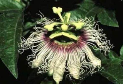 Passiflora long Or Big Friuit 10 graines
