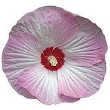 Burpee Pink Swirl Hibiscus Seeds 15 seeds