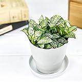 観葉植物 フィットニア おまかせ ホワイト系 3.5号鉢 受け皿付き 育て方説明書付き Fittonia albivenis cv. アミメグサ
