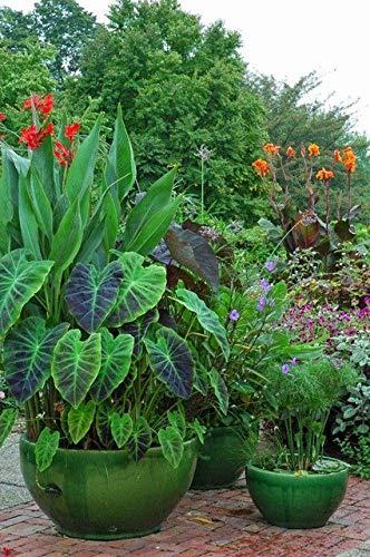 Green Seeds Co. 20 Pcs/sac Canna bonsaï bricolage en pot plantes d'intérieur * extérieur BONSAI bonsaï taux de germination de 95% de couleurs mélangées fleurs de jardin: brun