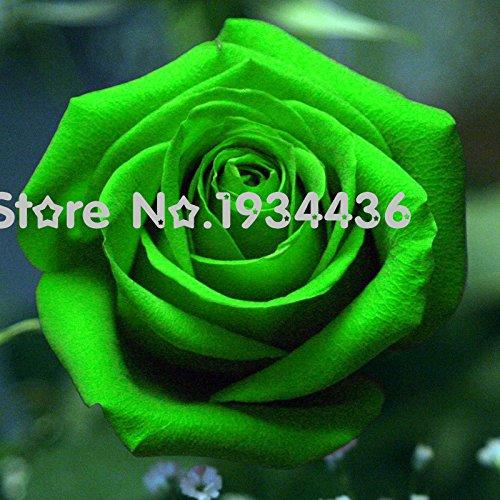 Chinoise Vert Rose Graines amant Golden Green Rose Seeds forte Fragrant Garden Rose Flower 20+ Graines / sac