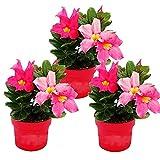 Dipladenia - Gelsomino peperoncino, 10 cm, set con 3 piante, colore: Rosa