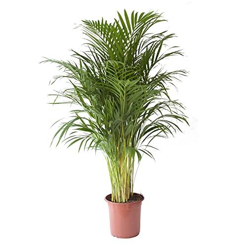 botanicly -  Die schönste