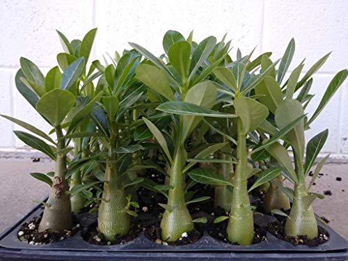 Desert Rose Adenium Obesum seedlings Bundle of 5 Plants 6-8 inches Tall Thick 10 Month Old Seedling Mixed Colors!!
