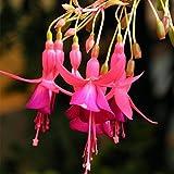 Davitu 10PCS giardinaggio Abutilon Striatum fiore semi pianta bonsai casa decorazione