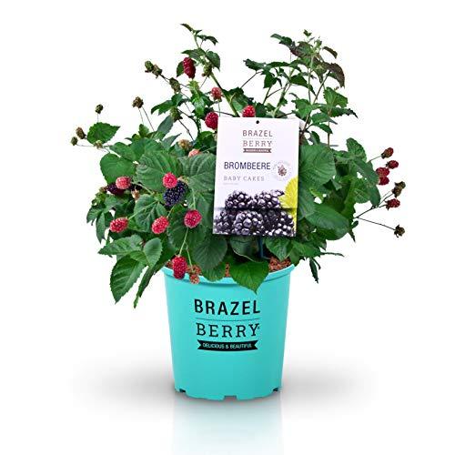 BrazelBerry 'Baby Cakes' Brombeere , eine liebenswerte Brombeere mit riesigen Früchten , winterhart , Obst für Garten, Terrasse, Balkon oder Kübel