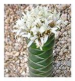 Crassula columnaris - Buddhas Tempel - 10 Samen -