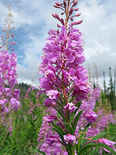 Fireweed (Chamaenerion angustifolium) 30mg Seeds for Planting, Onagraceae, Great Willow Herb, Perennial herbaceous Flowering Plant, Heirloom, Open Pollinated, Non-GMO