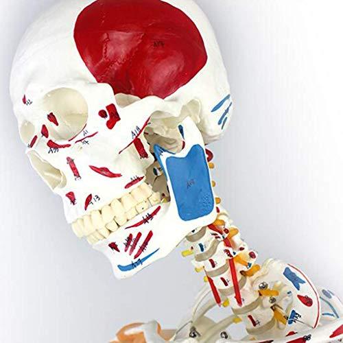 QULONG Modelo de Esqueleto Humano - Músculos anatómicos de 170 cm Modelo de curvatura espinal - Espécimen médico de Yoga y Fitness Ayuda de Entrenamiento Educativo, Modelos médicos y Materiales edu