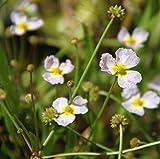 Wasserpflanzen Wolff - Baldellia ranunculoides - Igelschlauch