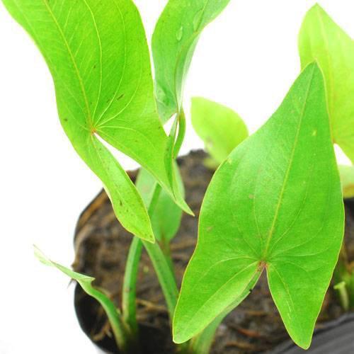 (ビオトープ)水辺植物 サジタリア ラティフォリア(1ポット) 抽水植物 (休眠株)