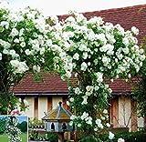 Adolenb Seeds House- 50pcs Rose Grimpeurs, Rambler Roses Grimpant Rose Hardy Vivace Arbuste Parfumé Peaux Gardern Balcon Décor Grimpantes Roses