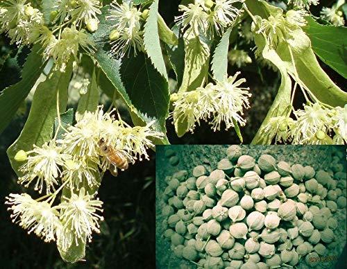 FERRY Bio-Saatgut Nicht nur Pflanzen: Saatgut: Tilia Platyphyllos Samen, sommerlinde 100 Seeds Lindenblütentee, Bonsai