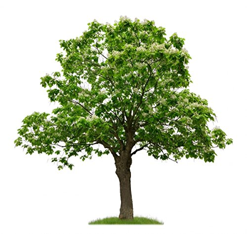 Trompetenbaum im Kleincontainer
