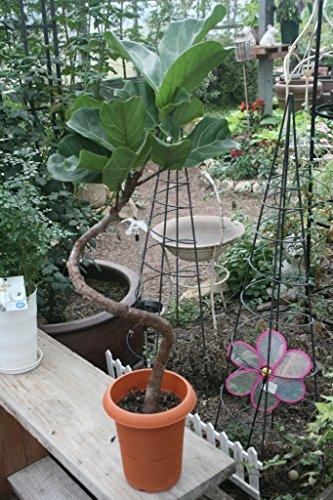 【ラッピング代込】 観葉植物 カシワバゴムの木 まがり 【ギフト】