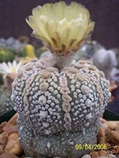 Astrophytum Asterias Fresh 20 Seeds Beautiful Cactus
