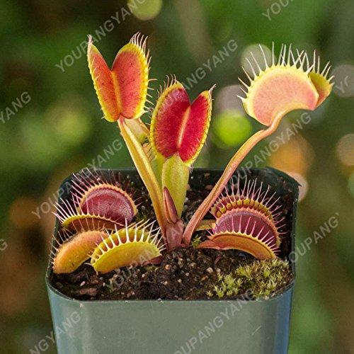 50 Pcs Jardin Plante en pot Flytrap Graine Bonsai Dionaea géant clip Graines Dionée Plante carnivore Plante Graines Gris clair