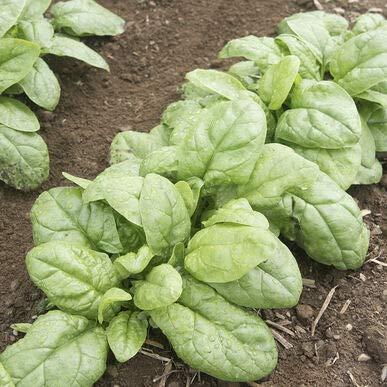 David's Garden Seeds Spinach Reflect 2332 (Green) 500 Non-GMO, Hybrid Seeds