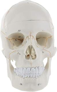 Homyl Skull Sculpture Medical Model Lifesize Education Home Decoration