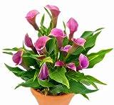 bloom green co. saldi! calla bonsai importata da olanda, piante calla lings-rari fiori giardinaggio domestico fai da te forniture da giardino 100pcs: 5