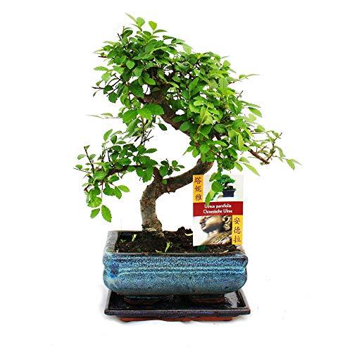 exotenherz - Bonsai Chinesische Ulme - Ulmus parviflora - ca. 6 Jahre