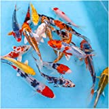 """Natural Waterscapes Colorful Pond Live Koi Mix 