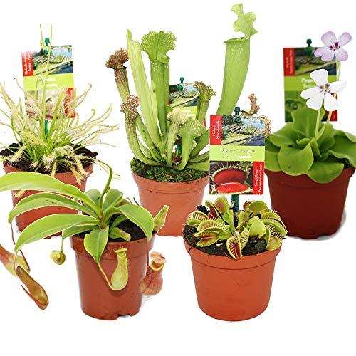 Pack de 5 Plantas Carnívoras en Maceta Pequeña Plantas Vivas