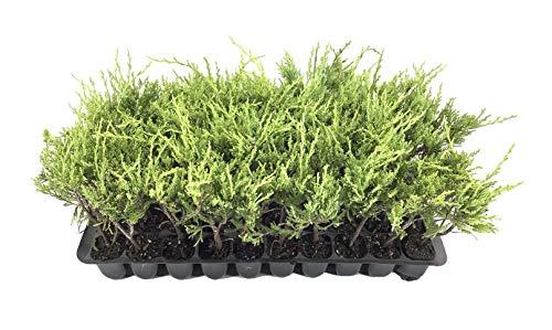 Sea Spray Juniper - 3 Live Plants - Juniperus Chinensis - Drought Tolerant Cold Hardy...