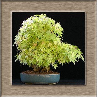 Acer graines palmatum, érable rouge graines d'arbres bonsaï, 100% vrai tir de graines nature, 30 particules / sac