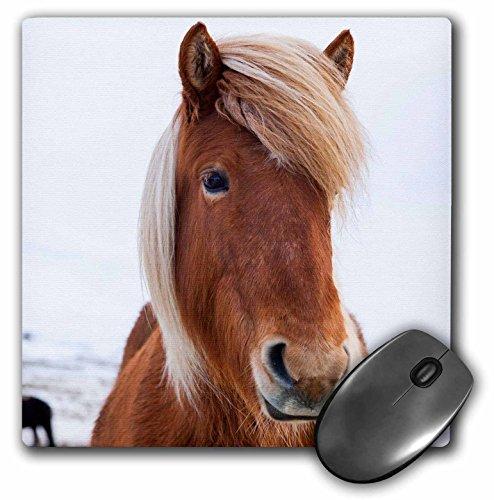 Danita Delimont - Paarden - IJsland - IJslands paard tijdens de winter. - muismat (mp_206290_1)