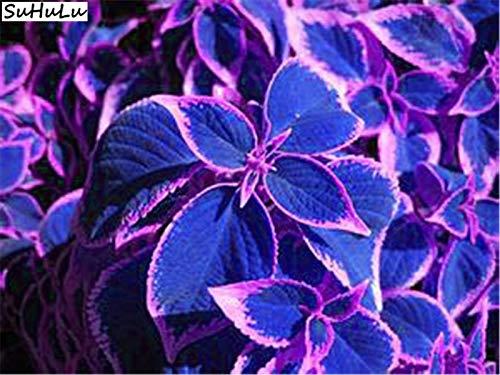 100 Pcs Japanese Bonsai Blue Coleus Plant Foliage Plants Perfect Color Dragon Beautiful Flower Plant Diy Home Garden Decor Buy Online In India At Desertcart In Productid 165988336